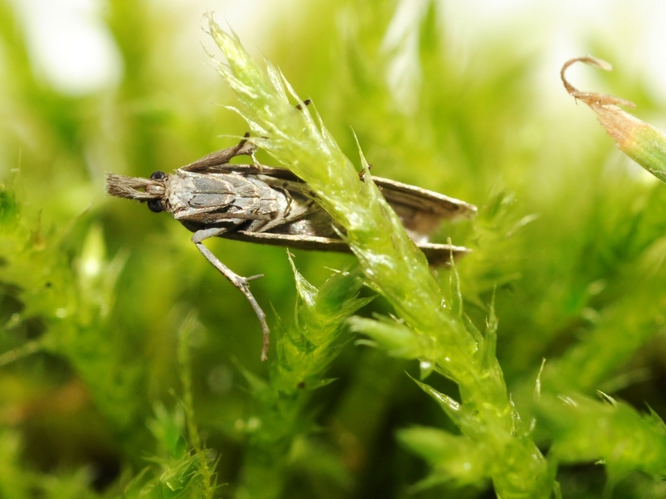 Seltener Schmetterling 945520_agriphila_biarmicus_2_-_foto_vito_zingerle-1