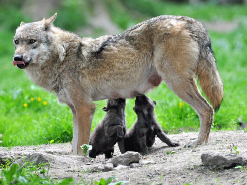 Das Waldviertler Wolfsrudel ist auf elf Tiere angewachsen