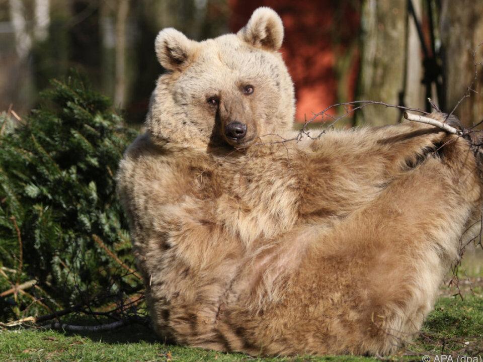 Die Begegnung mit einem Wildbären wünscht man sich eher nicht