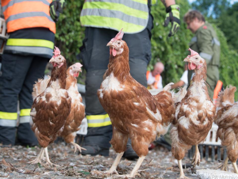 Drei Hühner bekamen Asyl