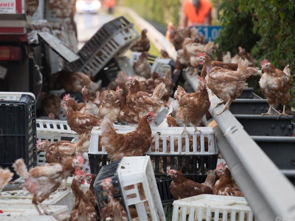 Tausende Hühner mussten wieder eingefangen werden
