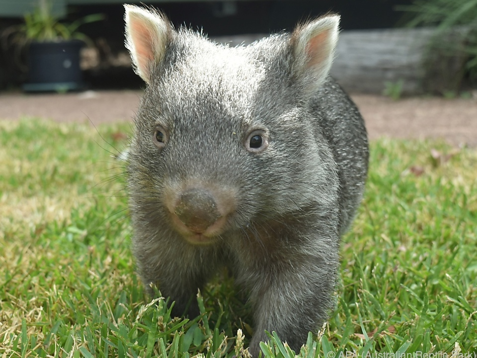 Wombat George hat sich ordentlich gemausert