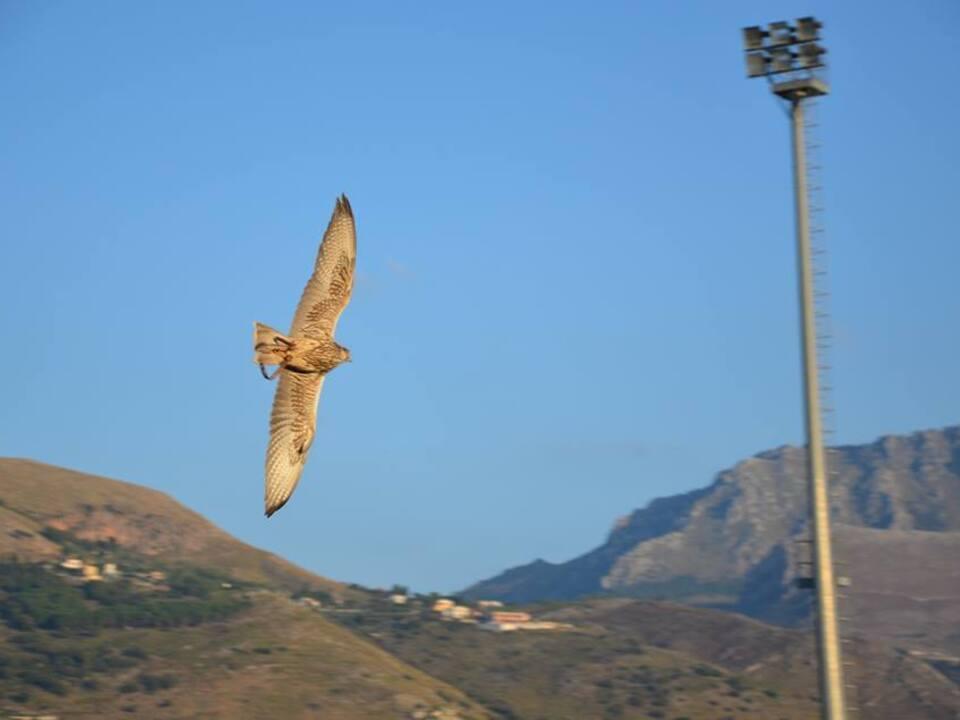 Facebook/ASA Falchi (allevamento Siciliano amatoriale Falchi)