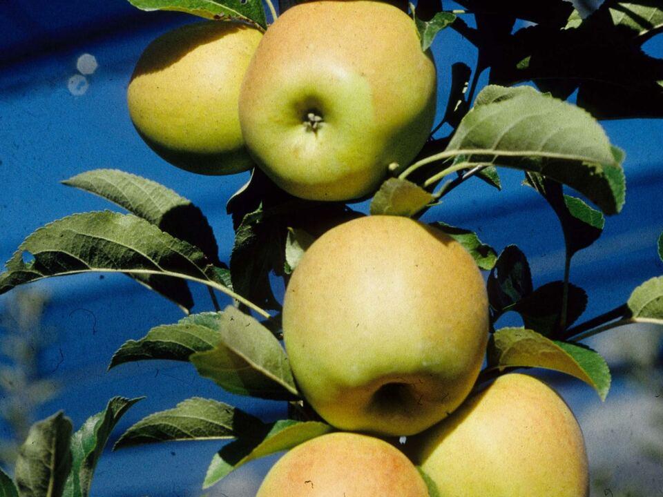 Apfel golden_deliciousc versuchszentrum_laimburg