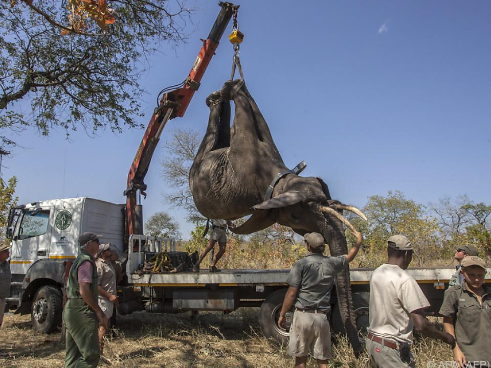 Die Umsiedelung der Elefanten war äußerst aufwändig