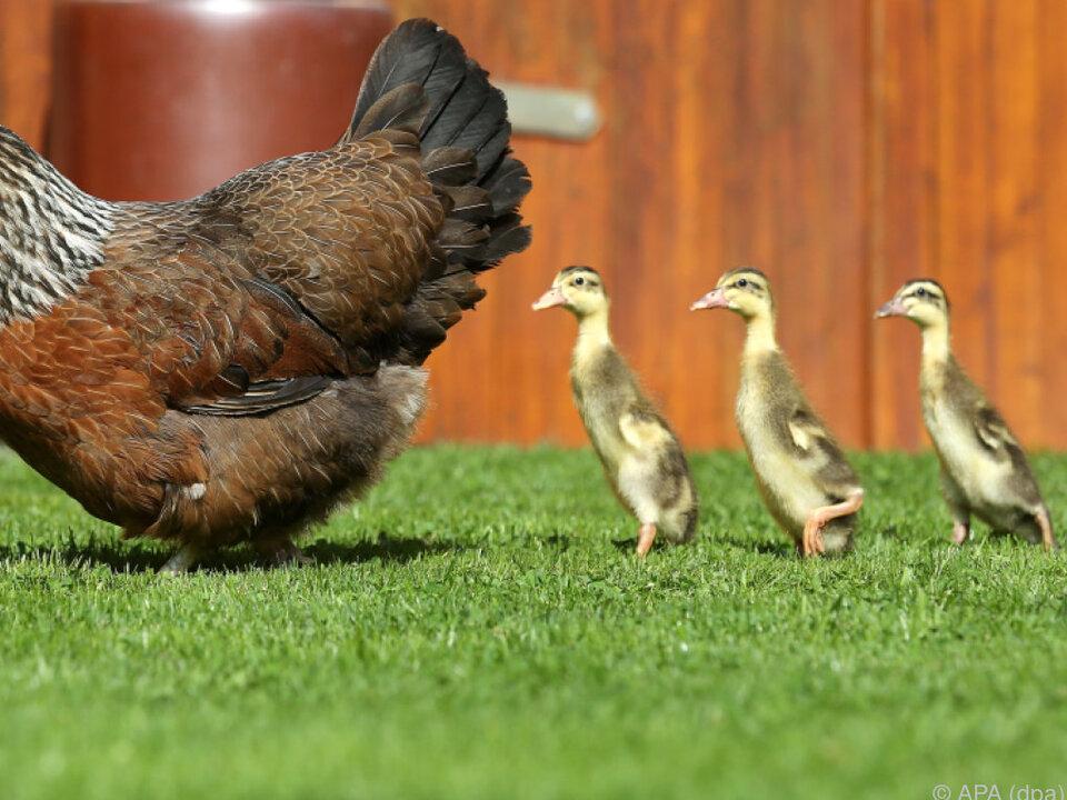 Emma mit ihren watschelnden Ziehkindern