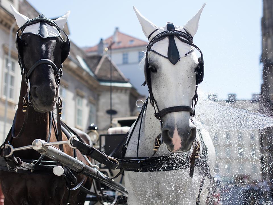 Fiaker-Pferde genießen wohltuende Erfrischung