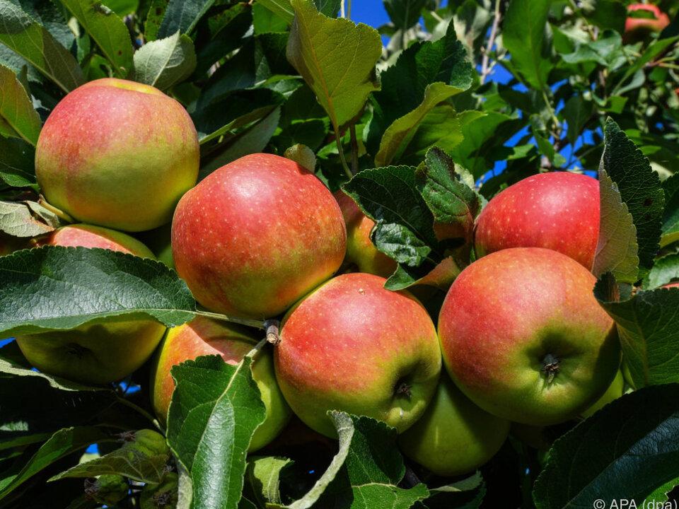 Kein optimales Jahr für die beliebte Frucht apfel