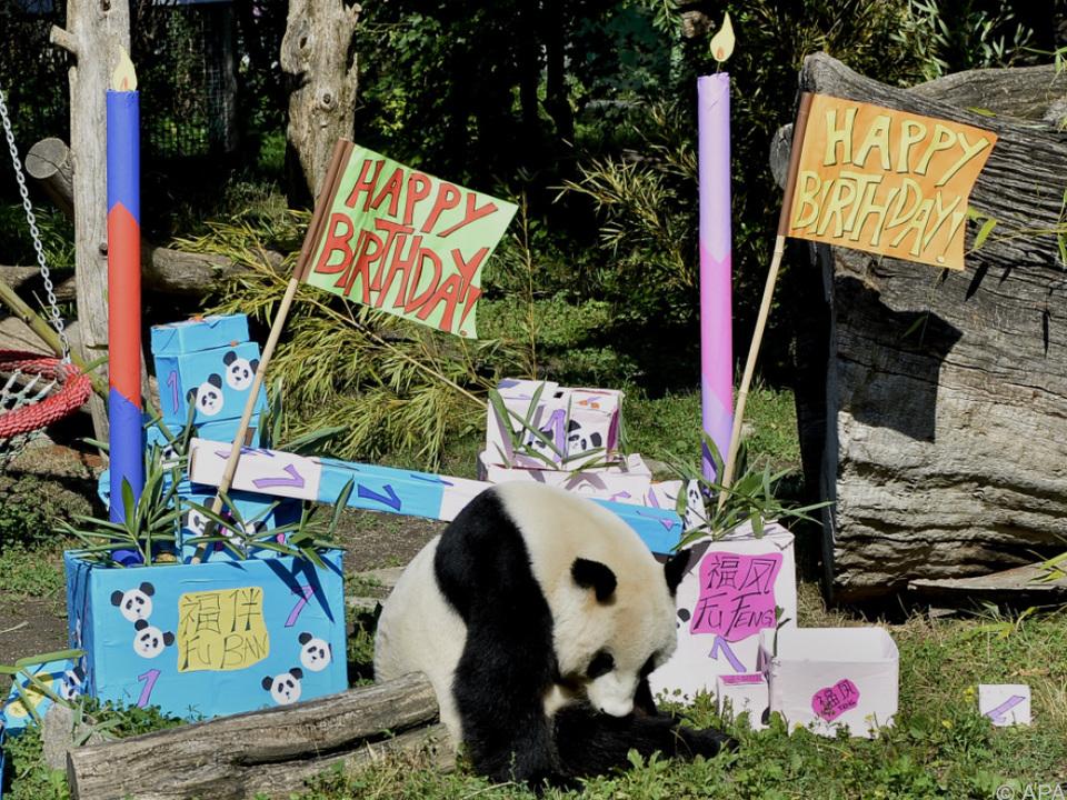 Panda-Bub Fu Ban inspizierte seine Geschenke