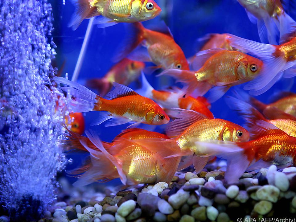 3,50 Euro pro Tag kostet die Goldfischmiete