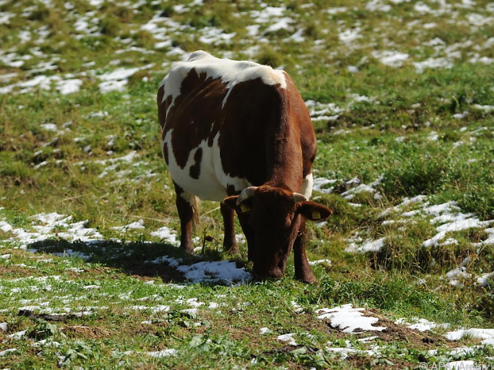 Kuh war in eingezäunter Weide