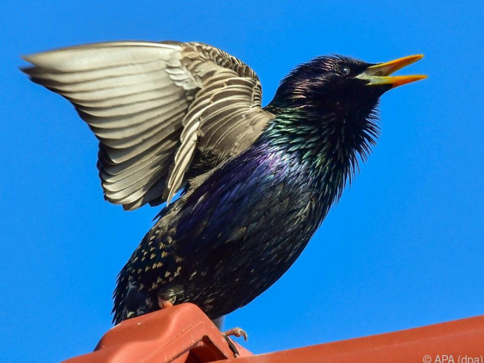 Der gemeine Star ist im Jahr 2018 der Star unter den Vögeln vogel