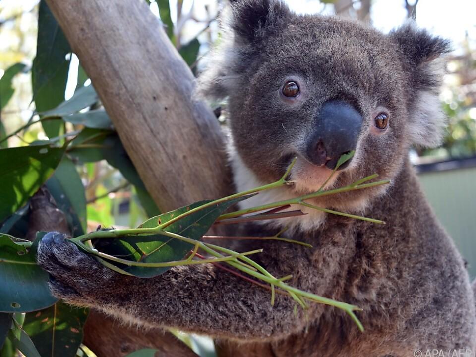 Koala-Weibchen Irene auf Partnersuche