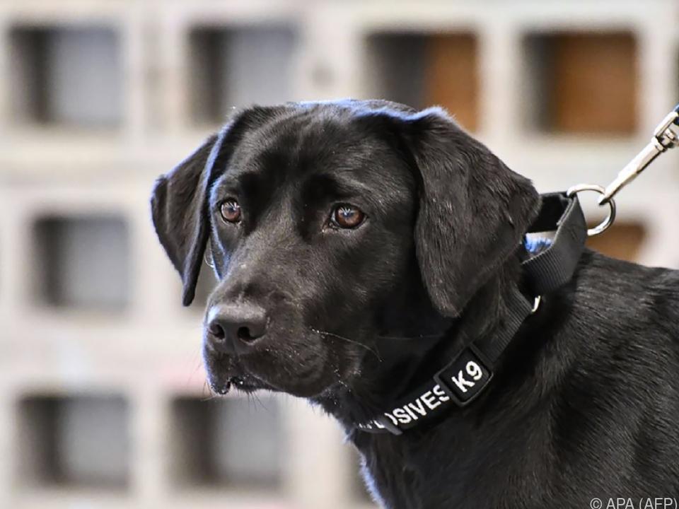 Labrador von Hundeführer adoptiert
