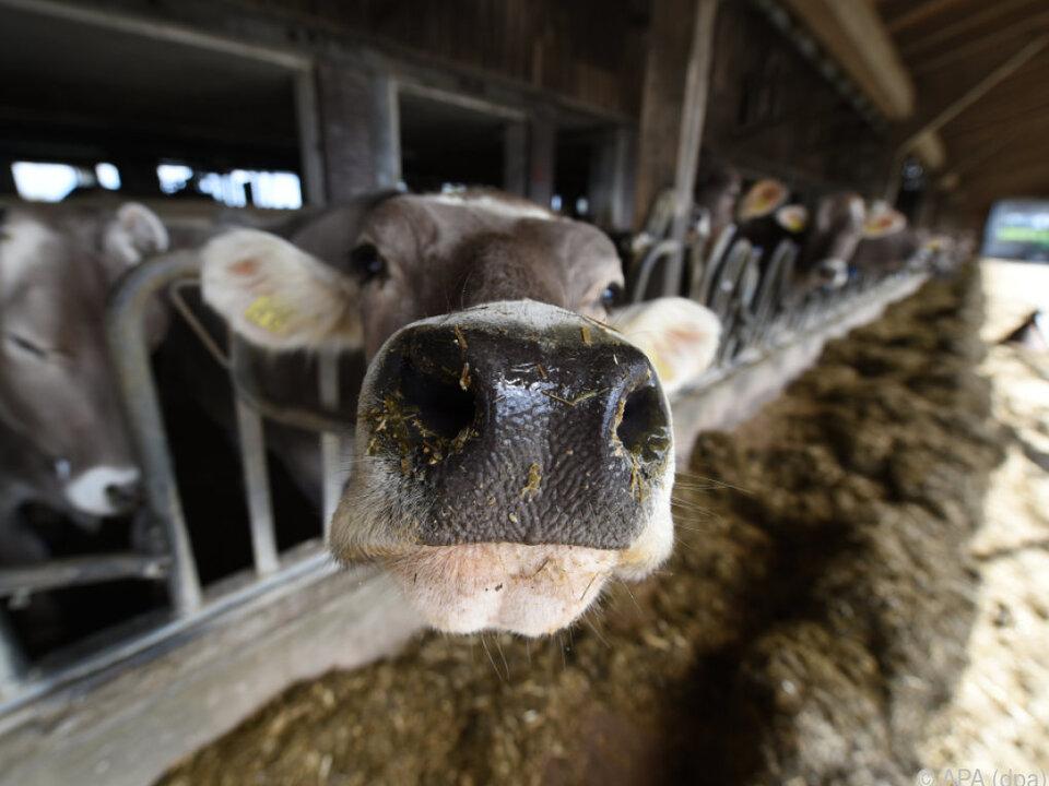 Milchbauern wollen Schutz vor Gefahr einer neuerliche Krise kuh stall milchkuh