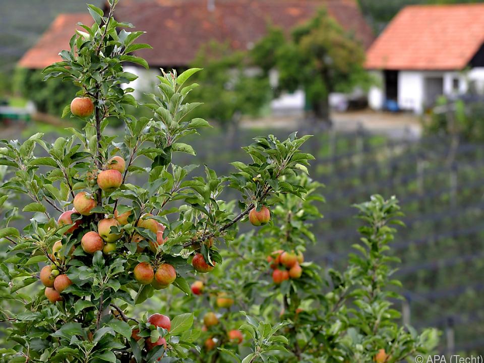 Die berühmten steirischen Äpfel