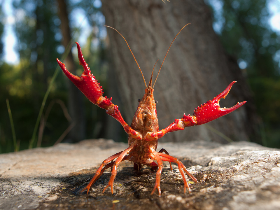 Louisiana-Flusskrebs Procambarus clarkii  Rote Amerikanische Sumpfkrebs  krebs