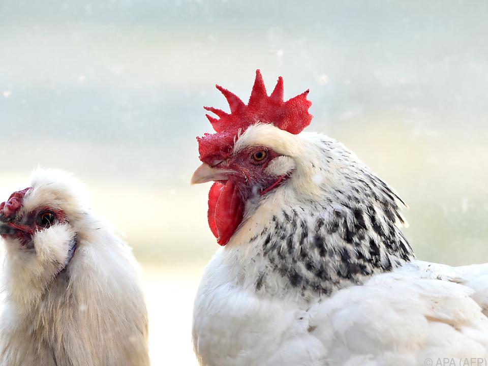 Geflügelkot als Alternative zu fossilen Brennstoffen henne hahn hühner