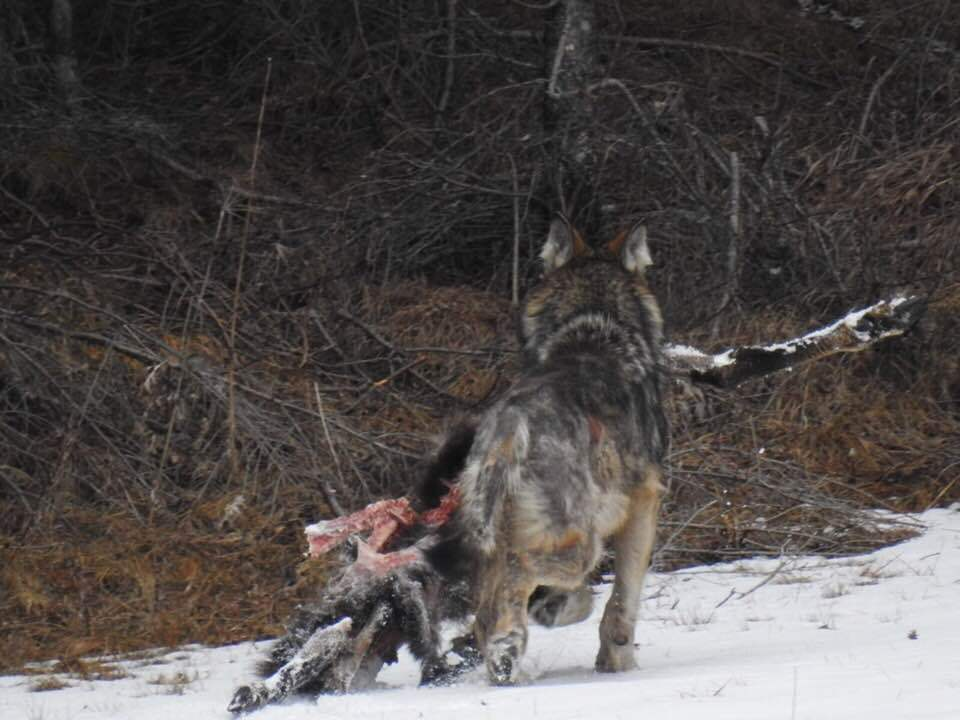 wolf canazei