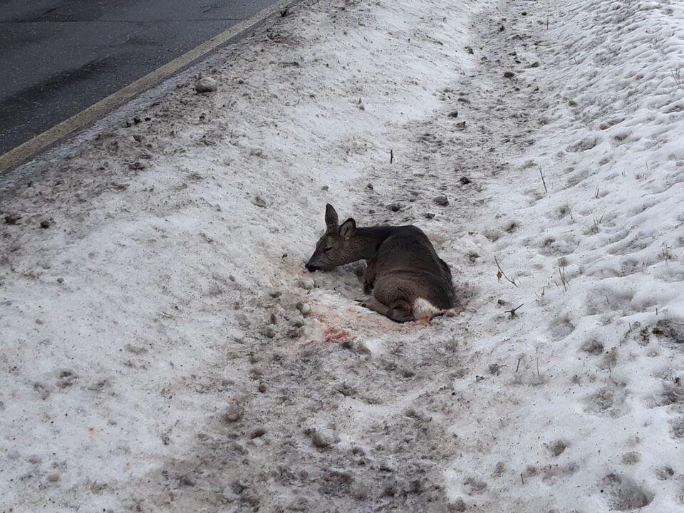 Reh verletzt Winter angefahren