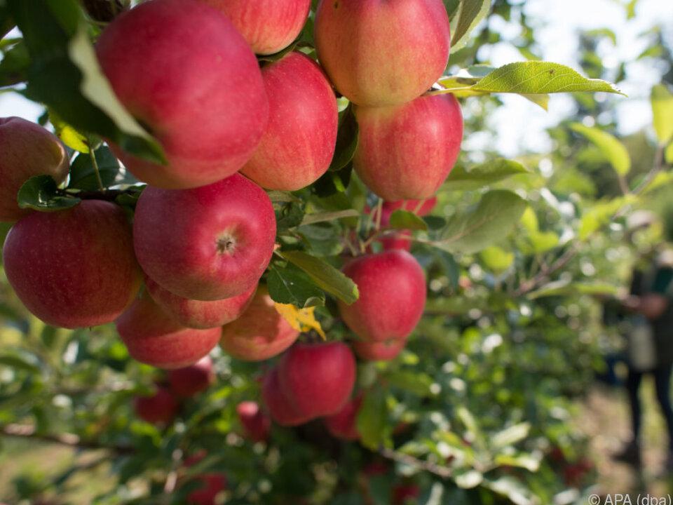 Apfelernte fiel aus klimatischen Gründen schlecht aus