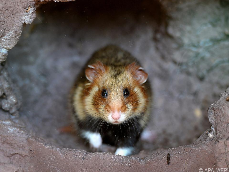 Sogar ein Hamster wurde schon in einem Zug vergessen haustier sym