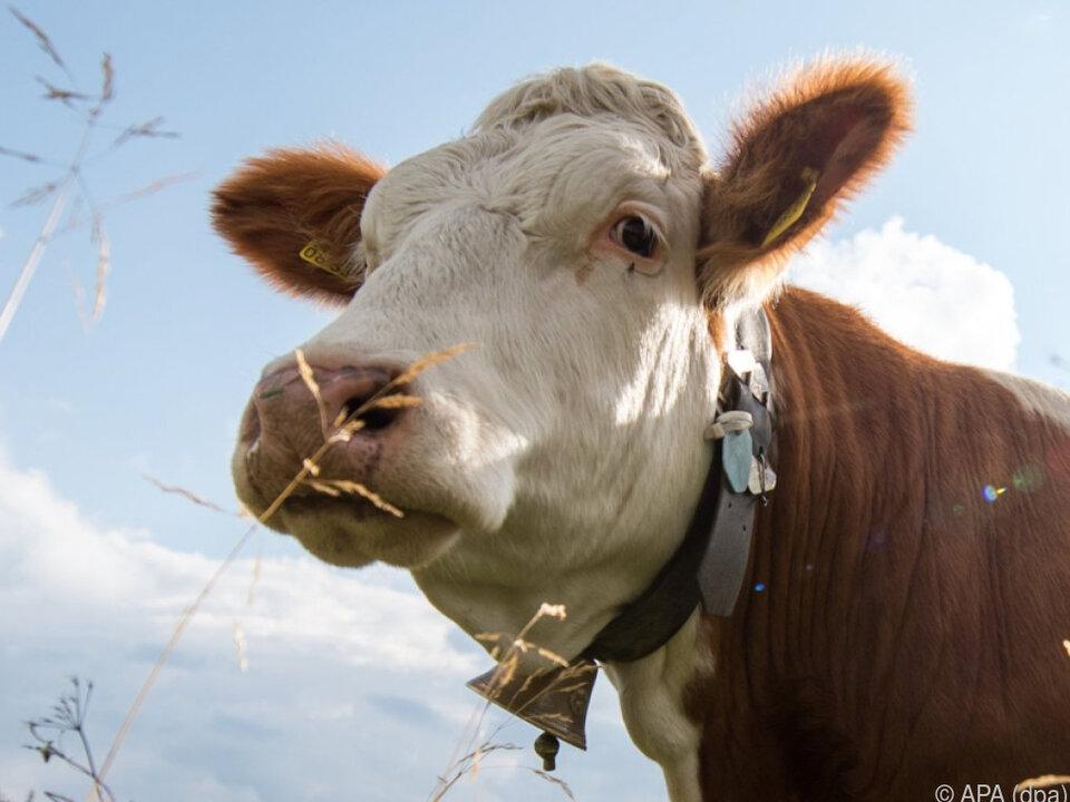 Streit um Kuhglockengeläut in Bayern