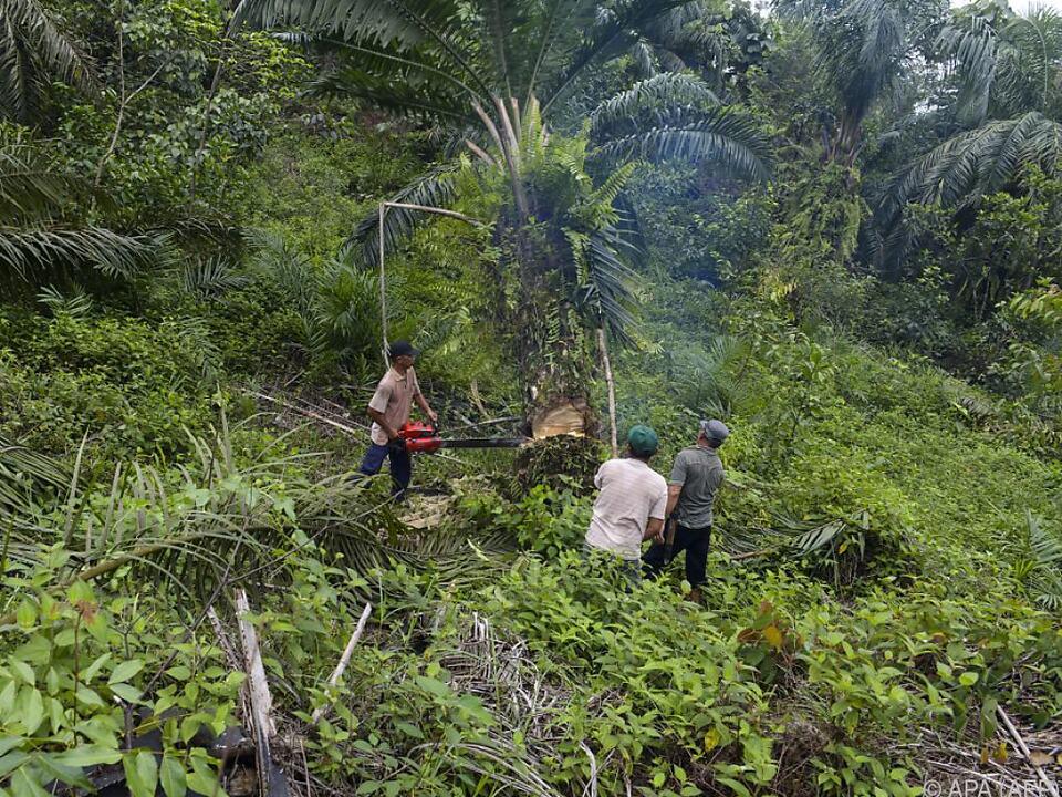 Der pflanzliche Rohstoff gilt als Klimakiller