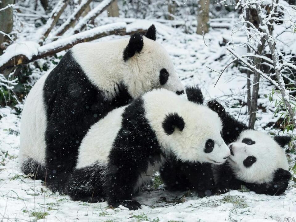 Die Pandas spielten ausgelassen in der weißen Pracht
