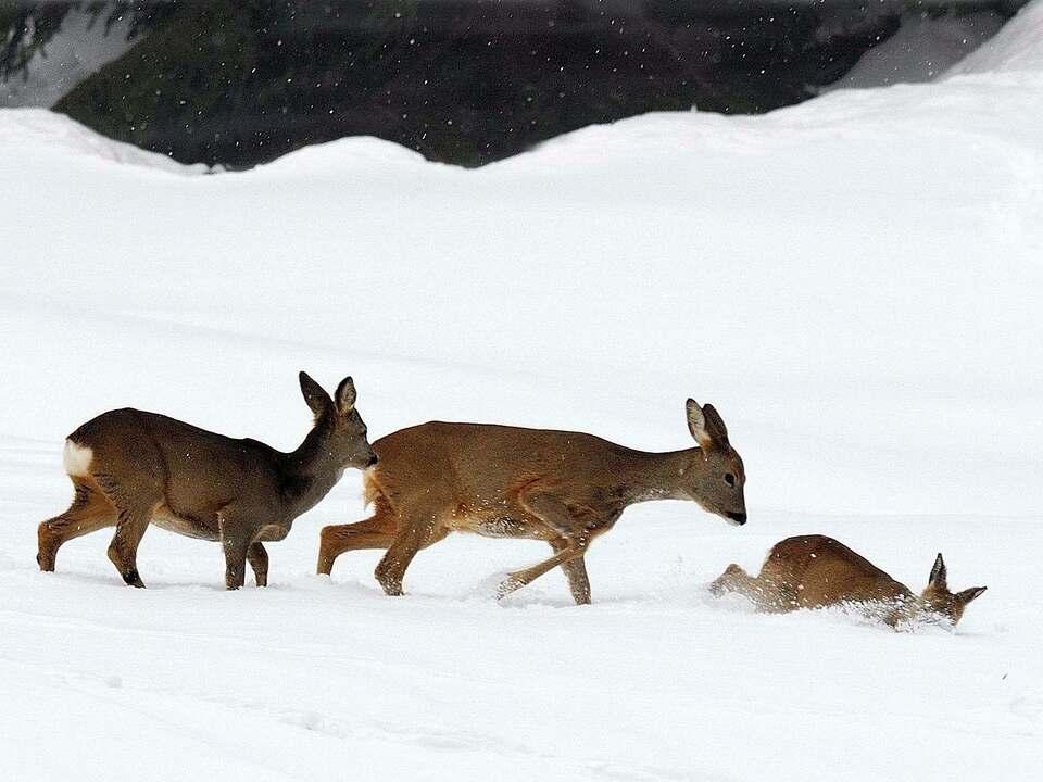 Renato Grassi Rehwild Schnee Winter