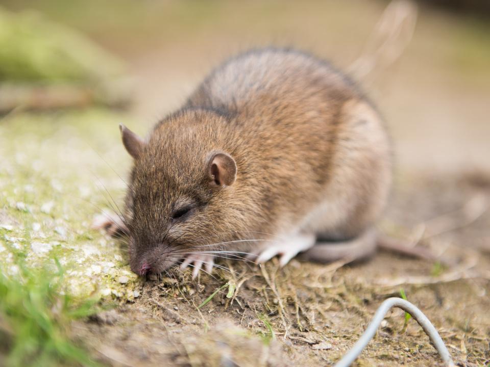 Ratte Rattengift