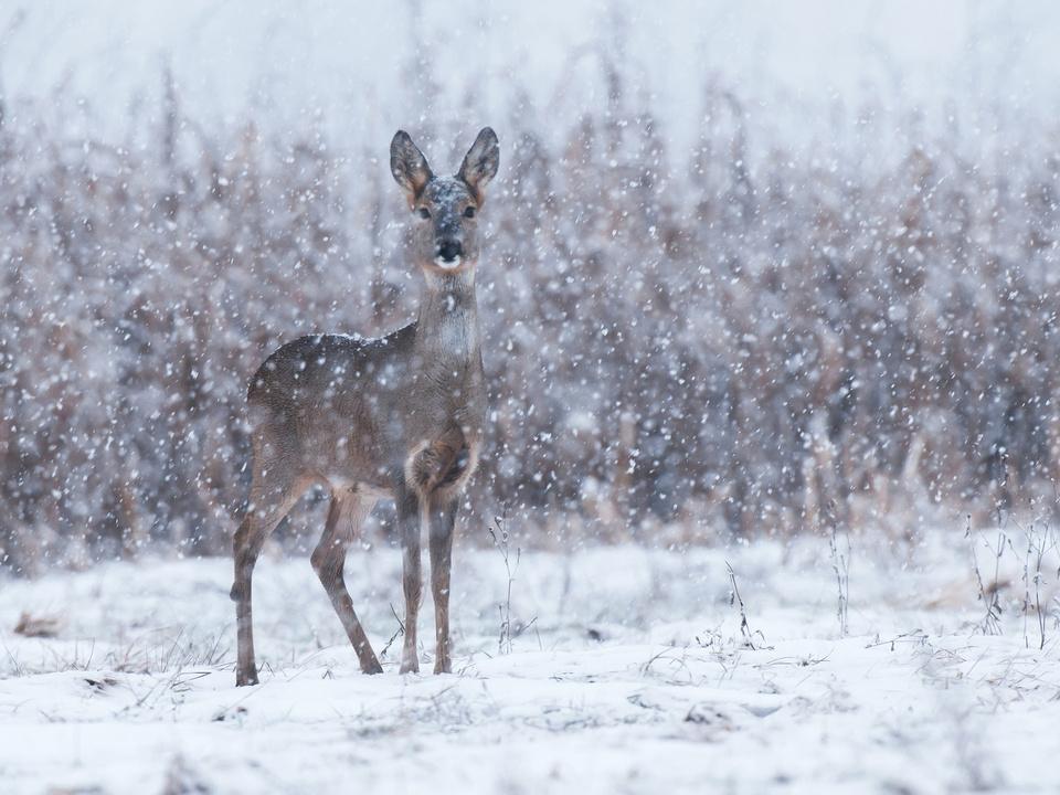 Reh Schnee