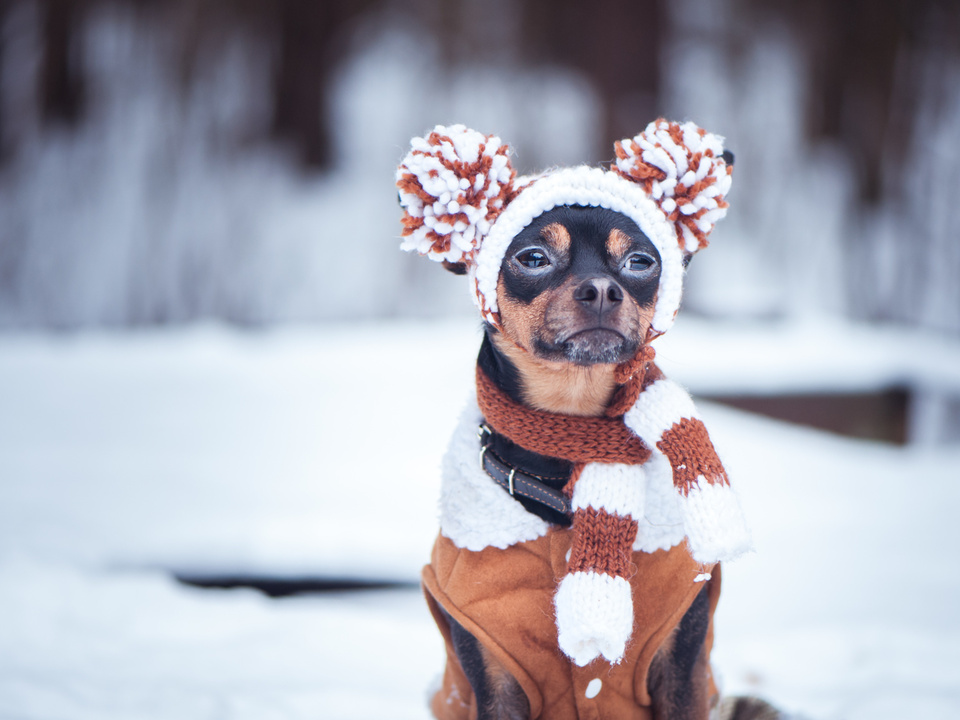 hund dog schoßhündchen süß symbol Cute puppy, dog, toy terrier in scarf, portrait macro, new year, christmas. There is a white fluffy snow. Christmas card, winter team