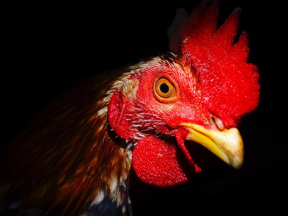 Hahn Gockel Hühner