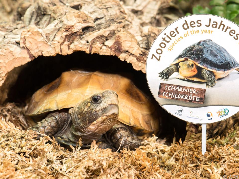 Die Scharnierschildkröte zählt zu den bedrohten Arten