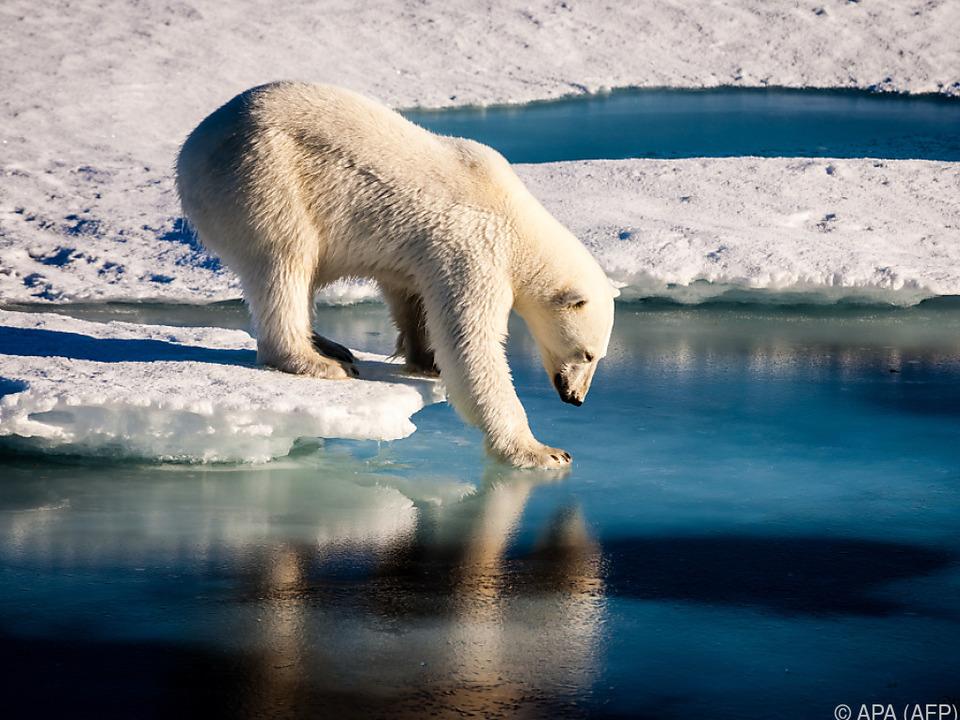 Eisbären finden nicht mehr genug Nahrung
