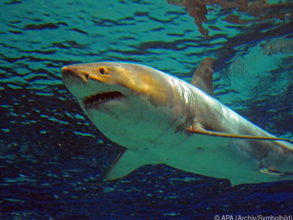 Weiße Haie sollte man meiden