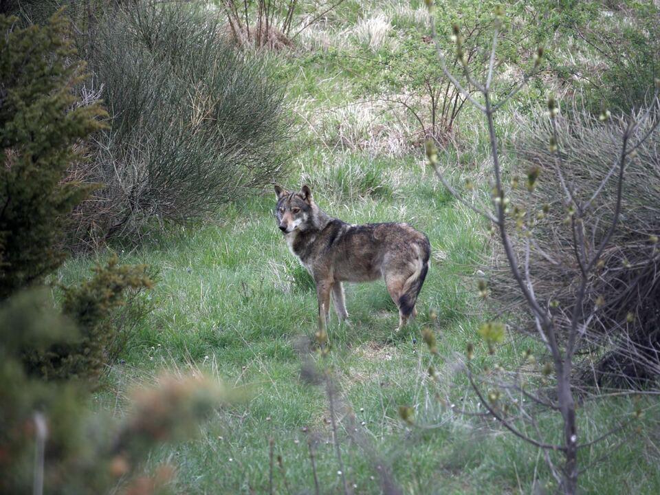 wolf Im laufenden Jahr 2018 wurden in Südtirol Einzelwölfe am Ritten, im Gebiet von Lana und im Schnalstal genetisch nachgewiesen. Foto: LPA/Amt für Jagd und Fischerei