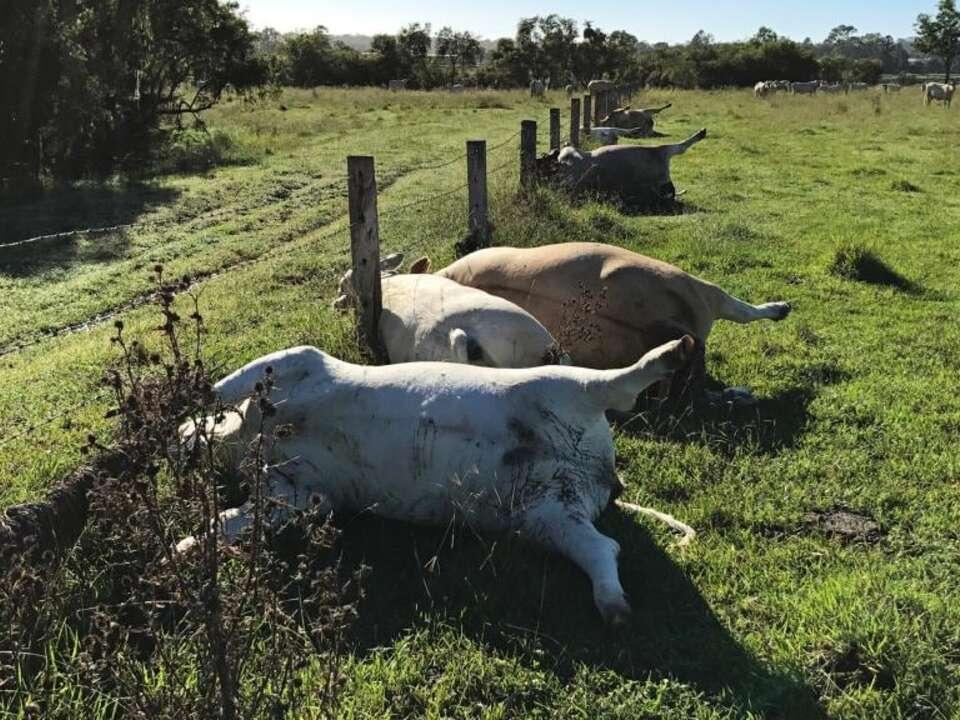 Kühe Blitz erschlagen
