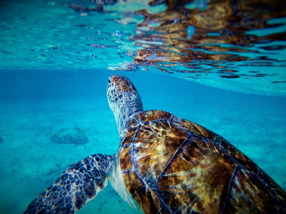 Underwater Turtle Meeresschildkröte