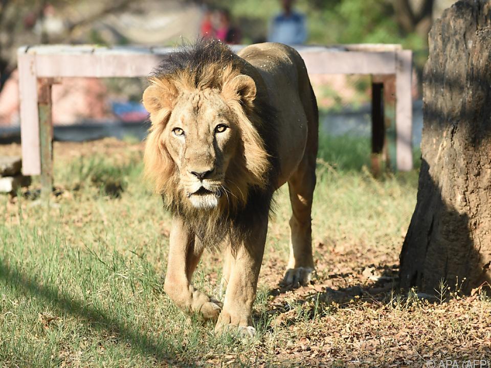Löwen mögen stark riechende Dinge