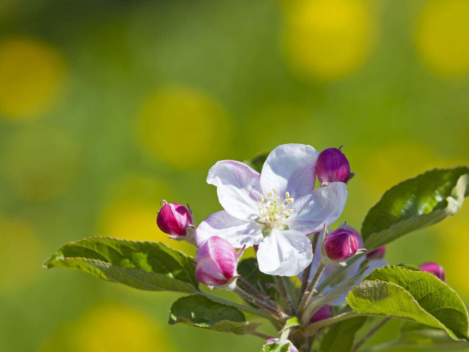 Suedtirol, 2014, Apfelbluete, Bluete, Fruehling, Vinschgau, zwischen Laas und Eyers,