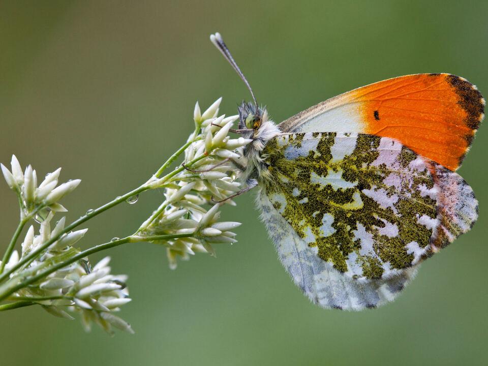 schmetterling natur 995809_np_bye_bye_butterfly_aurorafalter