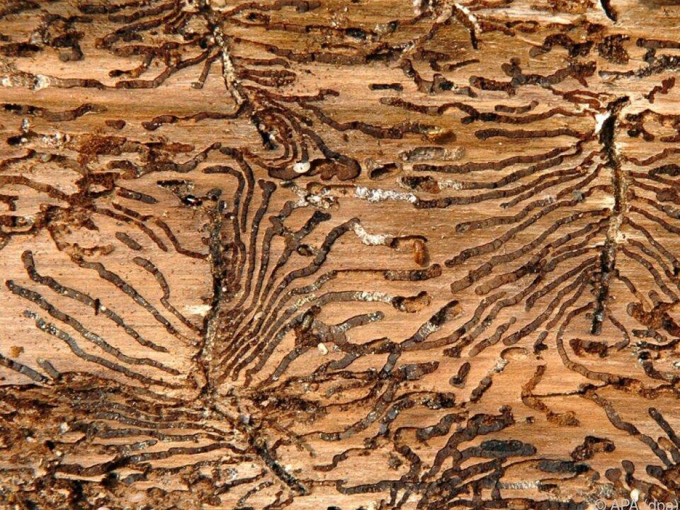 Der Borkenkäfer setzt vielerorts den Wäldern zu
