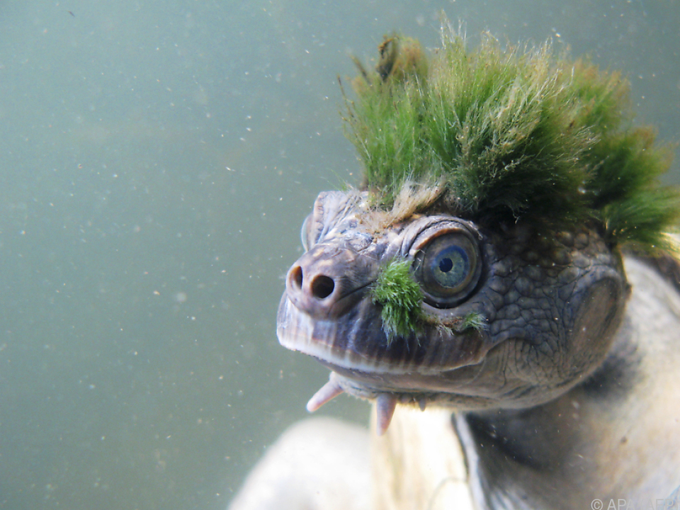 Die außergewöhnliche Mary-River-Schildkröte
