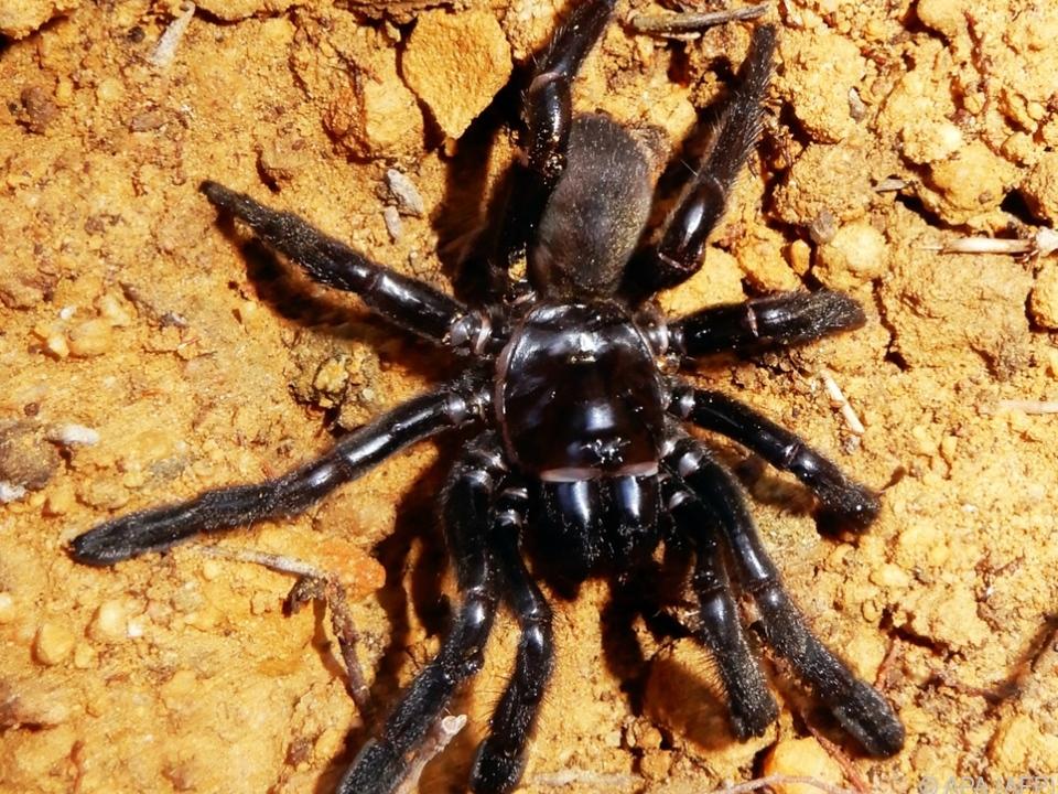 Die Spinne wurde 43 Jahre alt