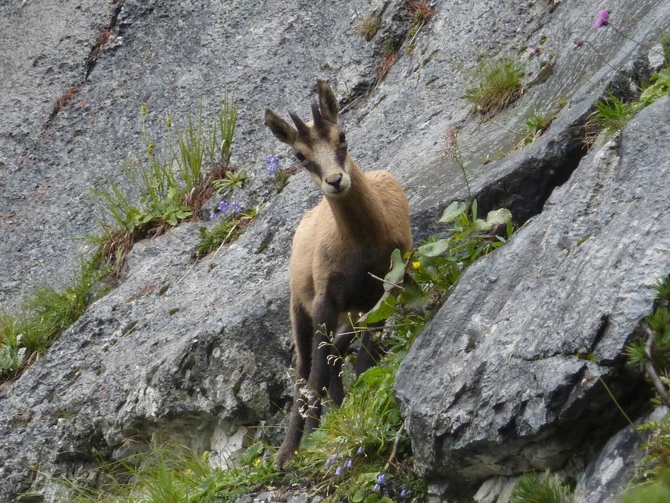 gams-pixabay wild natur südtirol naturpark von avs erhalten
