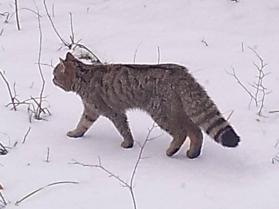 gatto-selvatico27