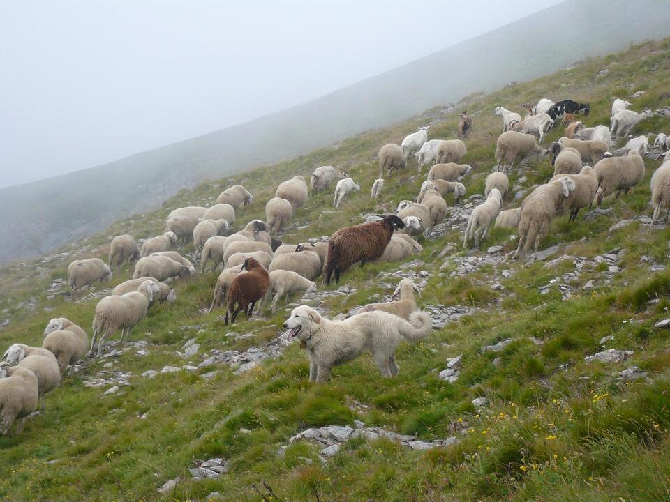herde-mit-schutzhunden_foto-arianna-menzano-life-wolfalps