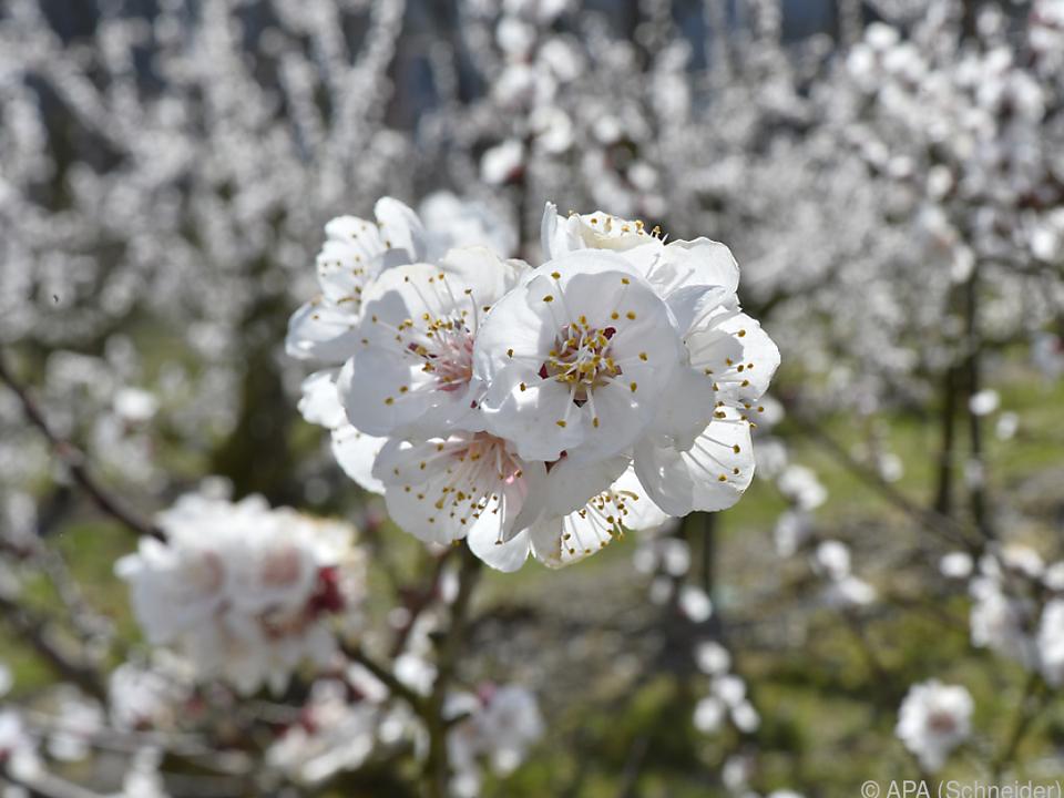 Marillenblüte fast zum durchschnittlichen Termin